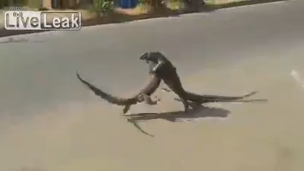 Ferocious reptiles fight on roadside - Sputnik Srbija