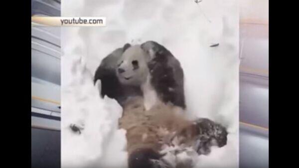 Панда ужива на снегу - Sputnik Србија