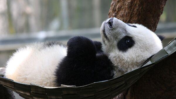 Беба панда - Sputnik Србија