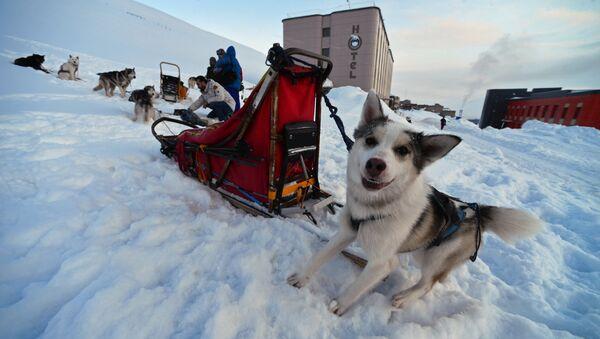 Хаски пас упрегнут за вучу санки на Шпицбершким острвима - Sputnik Србија