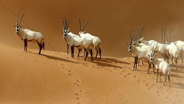 Арабијске антилопе у резервату у близини границе Омана и Саудијске Арабије - Sputnik Србија