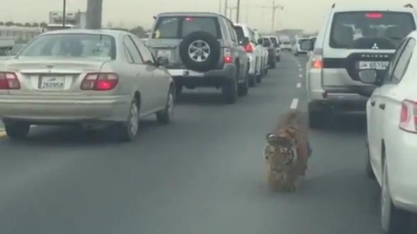 Tiger at Doha Qatar Road - Sputnik Srbija