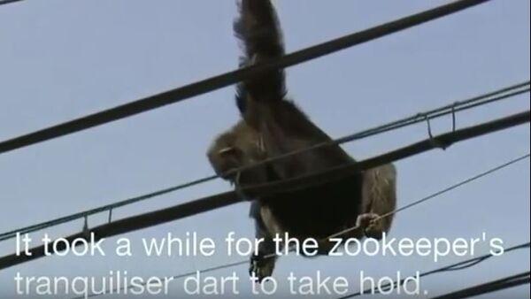 Спасавање шимпанзе - Sputnik Србија