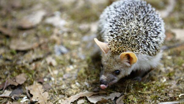 Dan ježeva u Jekaterinburškom zoološkom vrtu - Sputnik Srbija
