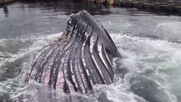 Grbavi kit izranja tik pored brodova usidrenih u luci - Sputnik Srbija