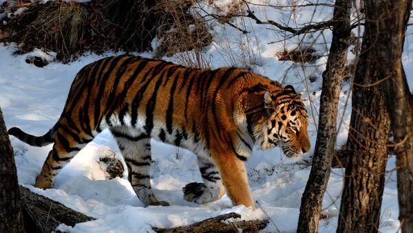Amurski tigar u Primorskom safari-parku, poznatom po prijateljstvu jarca Timura i tigra Amura - Sputnik Srbija