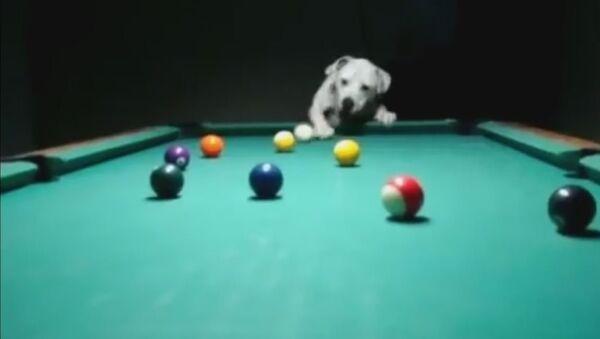 Pas igra bilijar - Sputnik Srbija