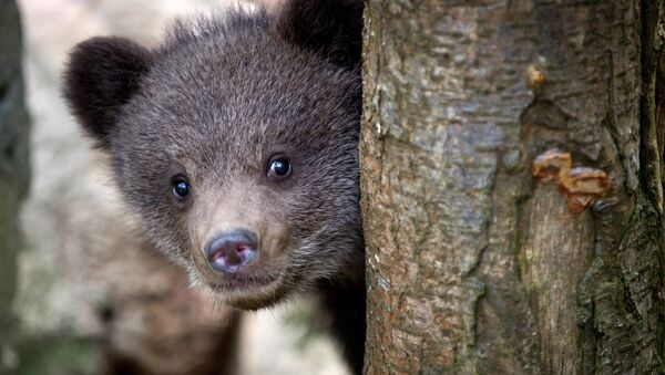 Младунче медведа - Sputnik Србија