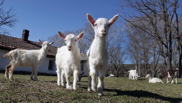 Farma koza na Krimu - Sputnik Srbija