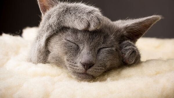 Ruska plava mačka - Sputnik Srbija