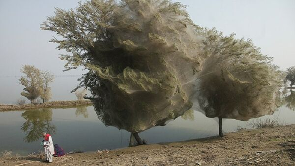 Paukovi kolonizovali drveće - Sputnik Srbija