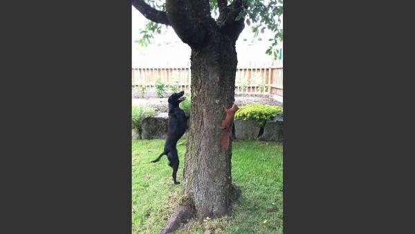 Squirrel Taunts Dog - Sputnik Србија