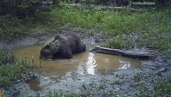 Medved u nacionalnom parku u Krasnojarsku - Sputnik Srbija