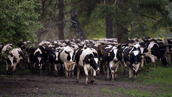 Stado krava - Sputnik Srbija