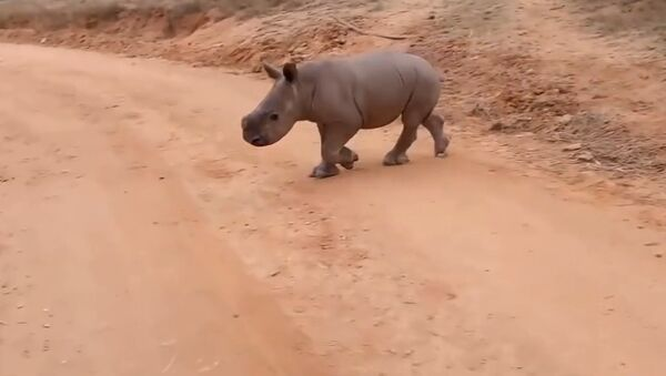 Walking baby rhino Warren - He knows his name! - Sputnik Srbija