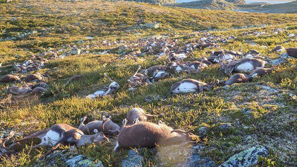 Mrtvi jeleni u Norveškoj - Sputnik Srbija