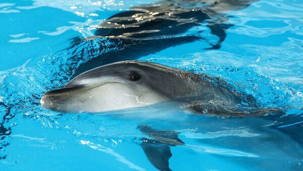 Делфини на отварању Центра за пливање са делфинима у Центру океанографије и биологије мора Москваријум у Москви - Sputnik Србија