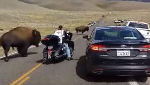 Yellowstone buffalo in rut, surrounds woman on motorcycle - Sputnik Srbija
