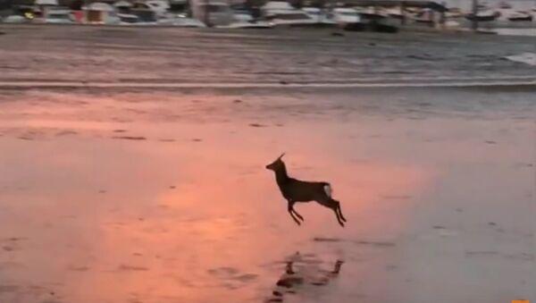 Deer Goes for a Morning Skip Across a Beach - Sputnik Srbija