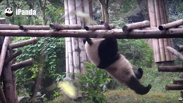 Смотани панда у покушају тренинга - Sputnik Србија