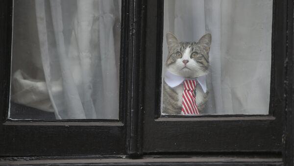 Мачак Џејмс са крагном и краватом гледа кроз прозор амбасаде Еквадора у Лондону - Sputnik Србија