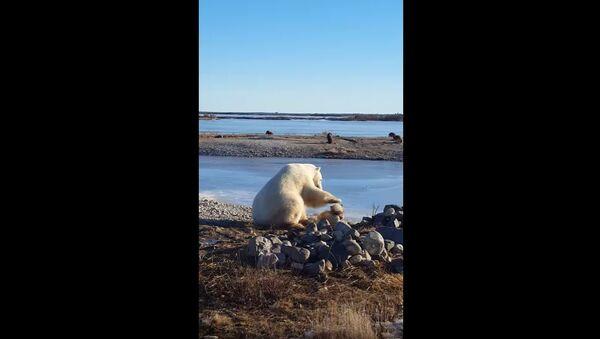 Polarni medved mazi psa - Sputnik Srbija