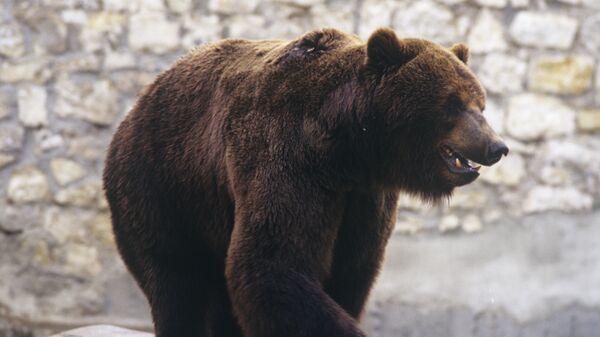 Мрки медвед - Sputnik Србија