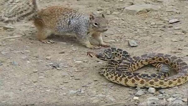Веверица и змија - Sputnik Србија
