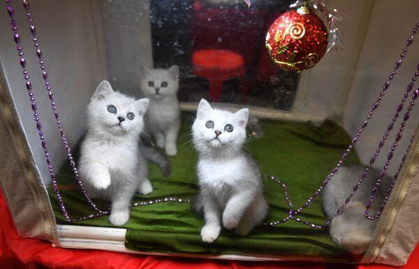 Izložba mačaka u Moskvi - Sputnik Srbija