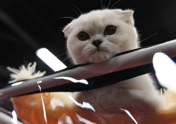 Mačka sorte škotski fold na izložbi u Moskvi. - Sputnik Srbija