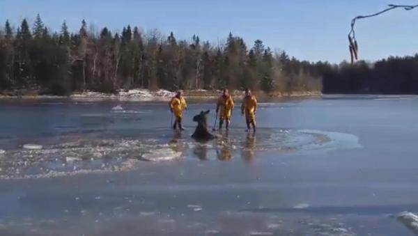 Канадски ватрогасци су секирама  пробили лед и помогли лосу да се спасе - Sputnik Србија