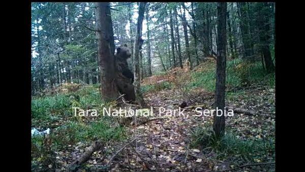 Ples medveda na Tari - Sputnik Srbija