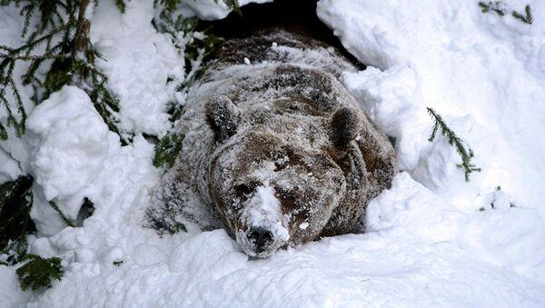 Медвед у снегу - Sputnik Србија