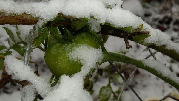 Paradajz u snegu - Sputnik Srbija