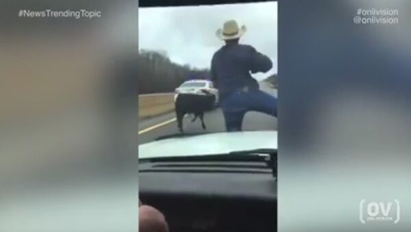 Wild West! Tennessee sheriff cowboy lassoes runaway calf from police car. Viral video - Sputnik Србија