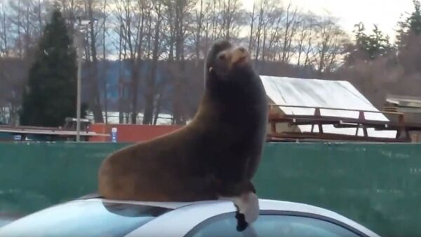 Morski lav koji voli automobile - Sputnik Srbija
