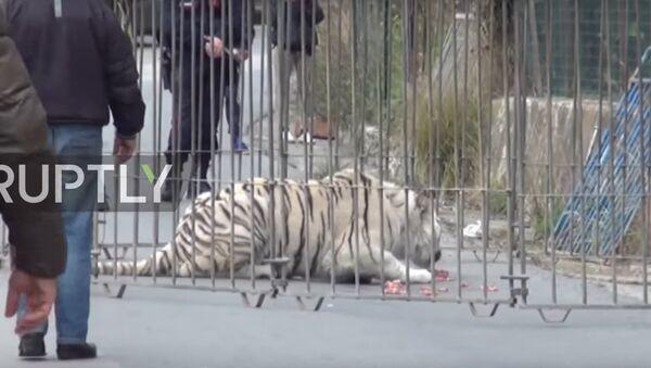 Бенгалски тигар - Sputnik Србија