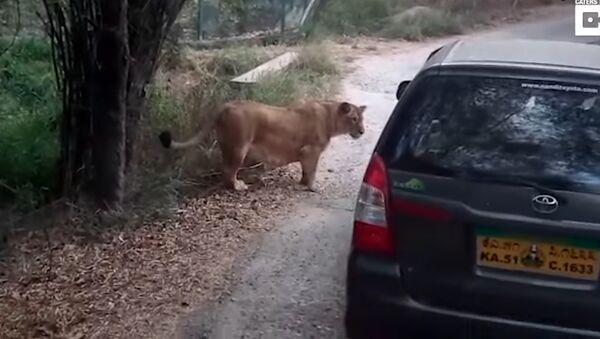 Лав поред сафари возила - Sputnik Србија