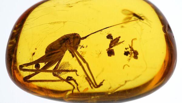 Kalinjingrad u ćilibaru čuva insekte stare 50 miliona godina - Sputnik Srbija