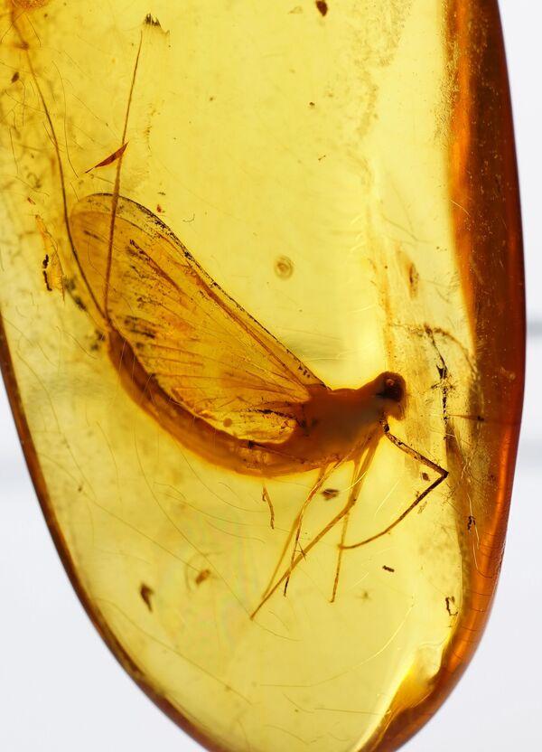 Калињинград у ћилибару чува инсекте старе 50 милиона година - Sputnik Србија