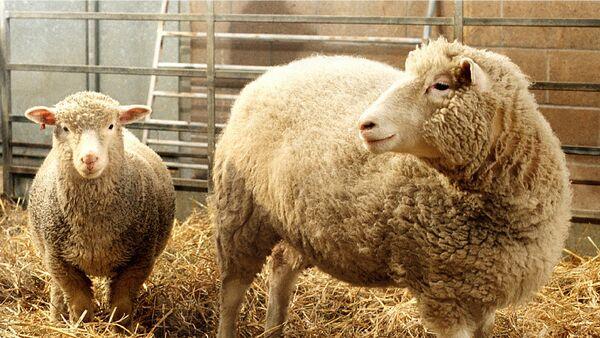 Desno, ovca Doli, prva klonirana ovca - Sputnik Srbija