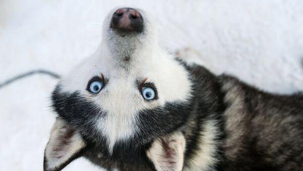 Пас хаски на територији парка Сокољники - Sputnik Србија
