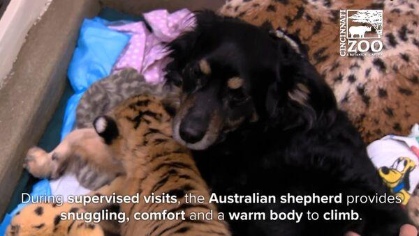 Женка аустралијског овчара Блејкли са тигрићима - Sputnik Србија