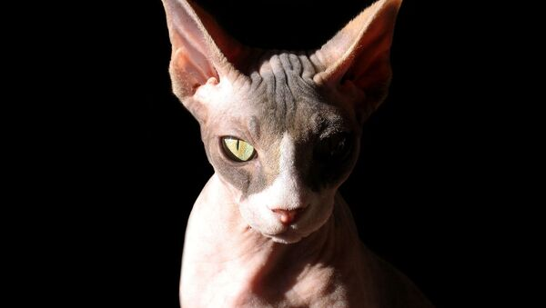 Sfinks mačka - Sputnik Srbija