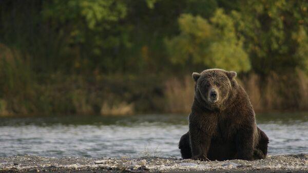 Medvedi su jedan od neizbežnih simbola Aljaske - Sputnik Srbija