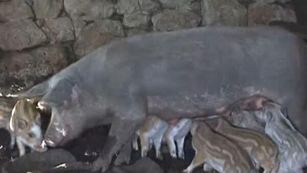 U Zakomu kod Rogatice domaća krmača oprasila deset divljih prasića - Sputnik Srbija