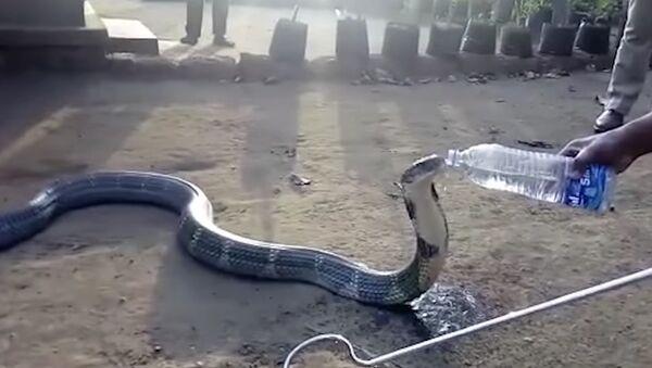 Žedna kobra - Sputnik Srbija