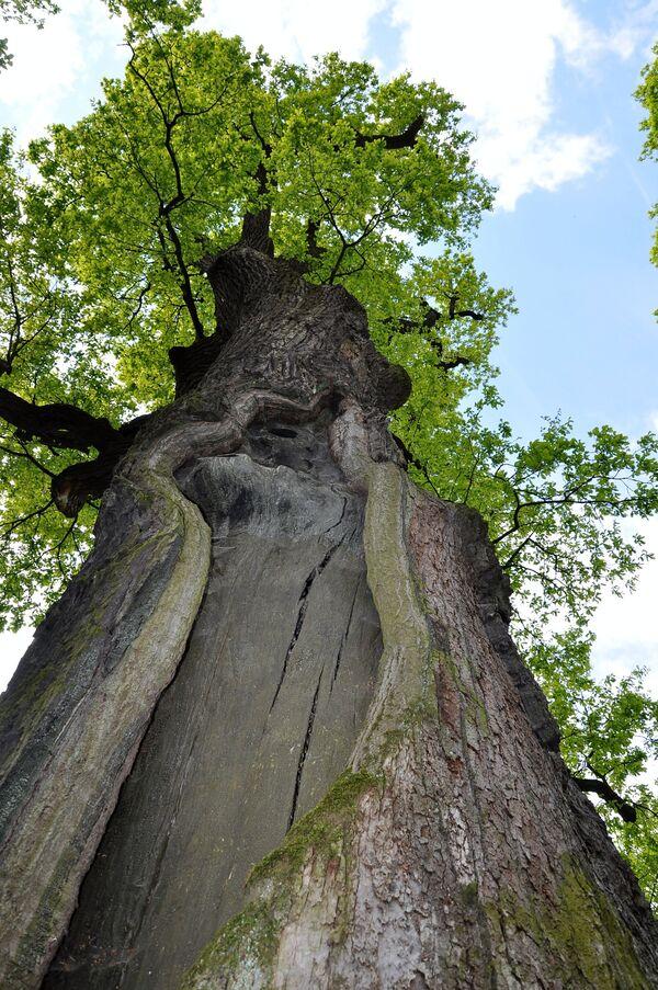 Priča starog hrasta: Evropsko drvo godine - Sputnik Srbija