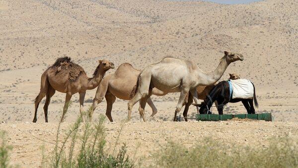 Камиле у пустињи - Sputnik Србија