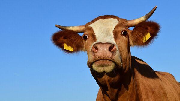 Krava - Sputnik Srbija